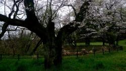 20170408雨の桜3