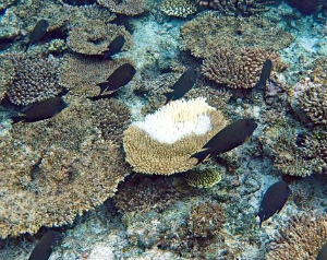 C5zA8BsUsAAVCqS宮古島でもサンゴ死滅