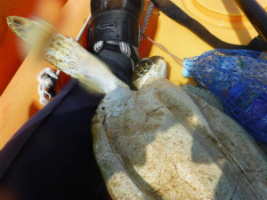 C9d0f3eVoAAy_Hi【辺野古】海亀の保護