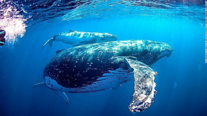 whale-oz-swimming-with-humpback-whale.jpg