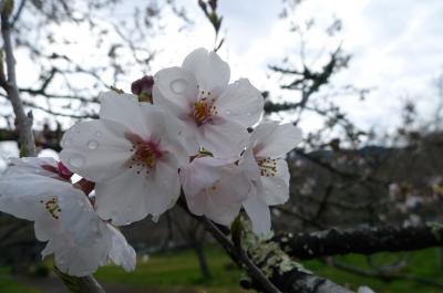 桜淵公園2017-4