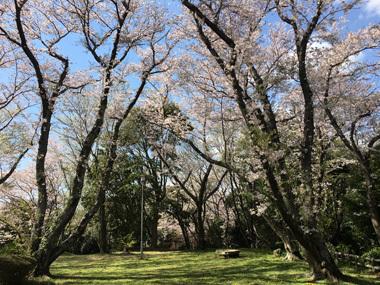 桜 花見 春 豊川 御津 花屋 花夢