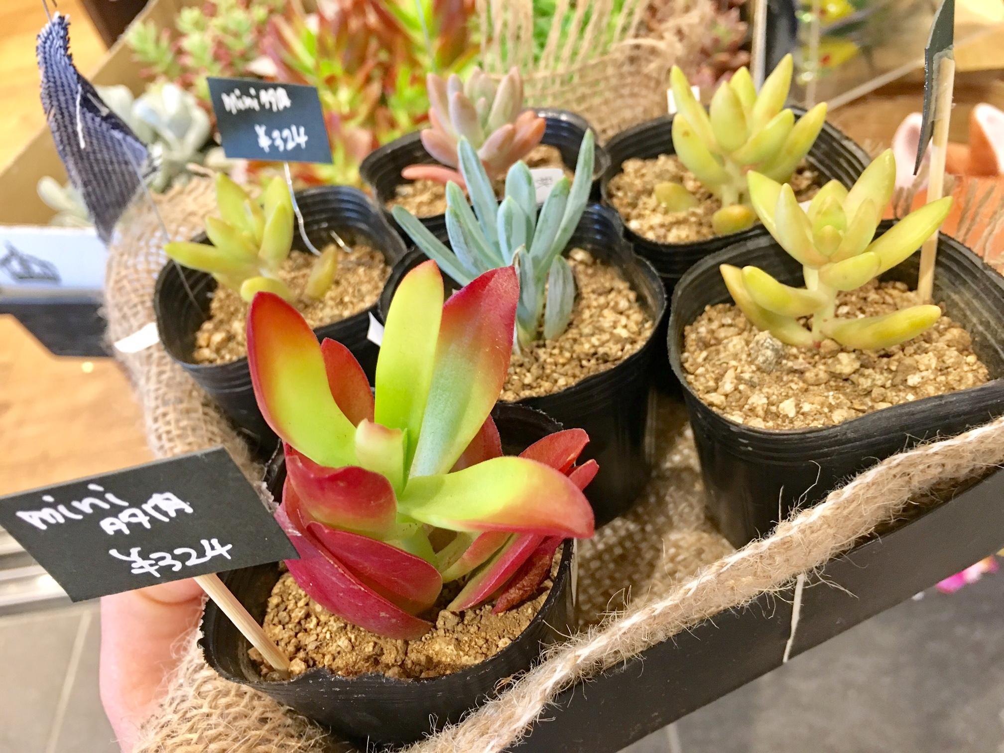 プチコノカビエラ塚口_植物を育てよう2