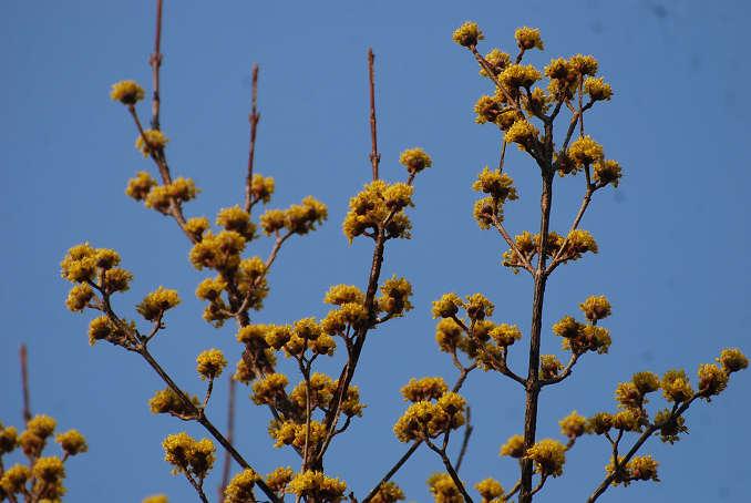 サンシュユの黄色い花が
