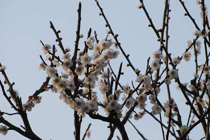 白梅の花が