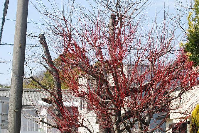 この赤い木は何?