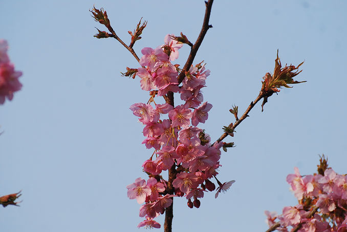 カワズザクラの花がきれい