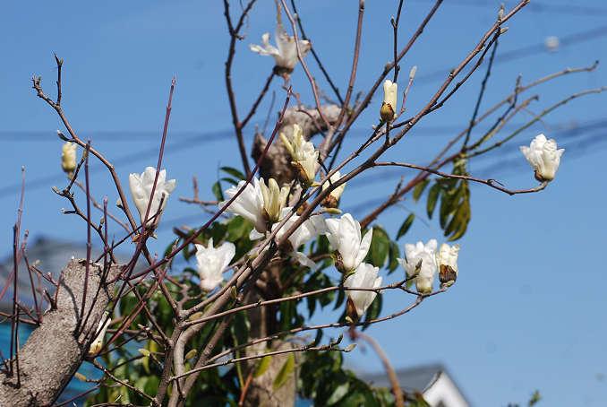 コブシの白い花が