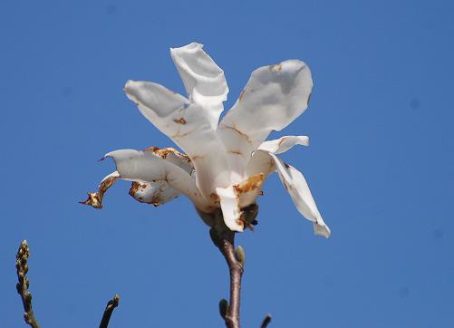 コブシの花をアップして