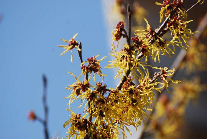 マンサクの黄色い花は