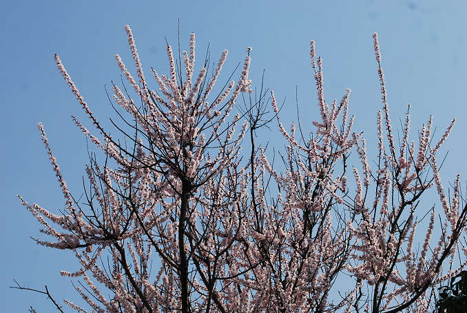 梅の巨木が