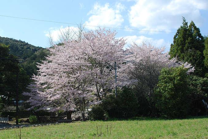 松源院のソメイヨシノ
