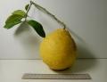 レモンDSCN1762