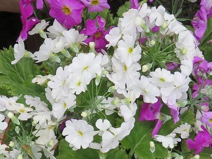 プリムラ・マラコイデス 白色