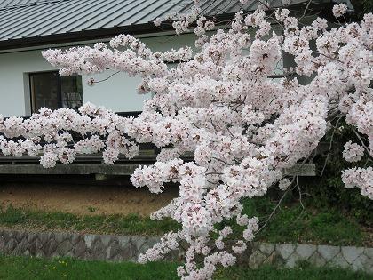 彦根城の桜 (3)