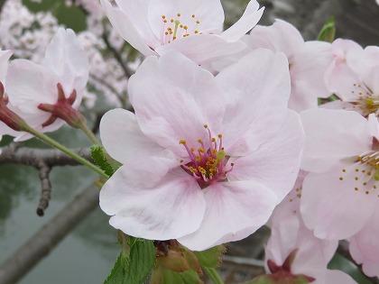彦根城の桜一輪