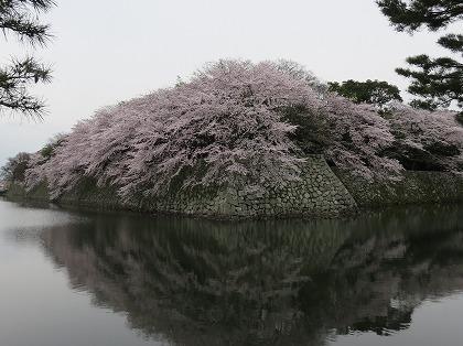 彦根城の内堀の桜