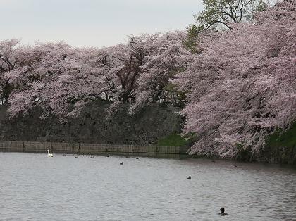 彦根城内堀の桜と水鳥