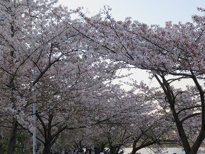 大川の桜 (3)