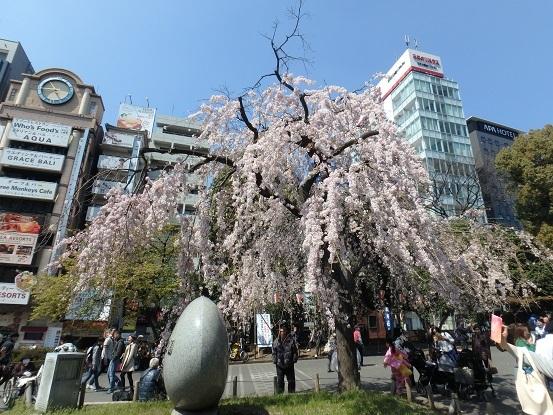 しだれ桜 3