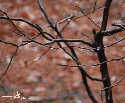 枯れ木に雨316