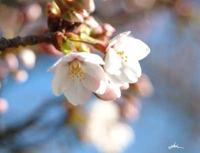桜開花413