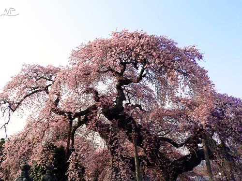 日輪寺しだれ桜
