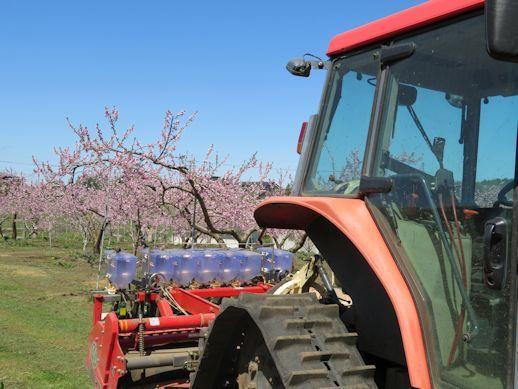桃の花をバックに