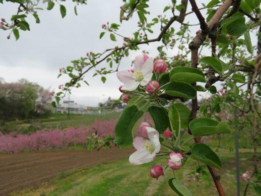 桃の花から