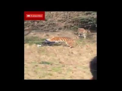 【衝撃!】無断入場者がトラに襲われて死亡!(観覧注意)