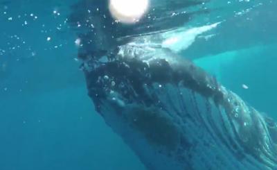 【スゴイ!】ザトウクジラが突然現れて遊んでる!鳥肌もの!