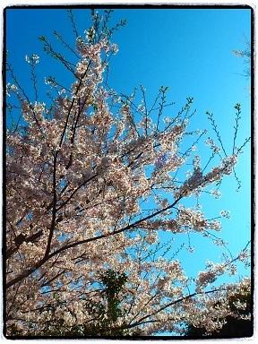 4-13桜3g