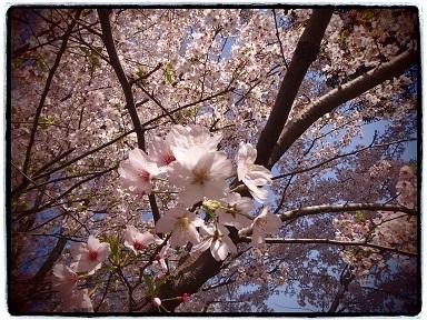 4-13桜5g
