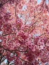 桜ピンク2017