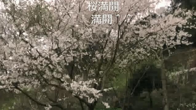 お花見配信2017 - 03 桜満開!