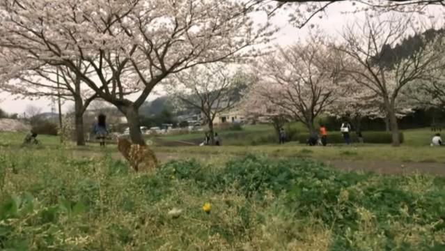 お花見配信-自然公園編-03 女の子とプラン