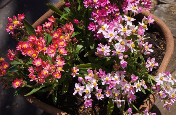 20170317 庭の花 21㎝DSC07092