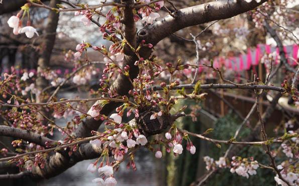 20170329 目黒川 桜 21㎝DSC07936