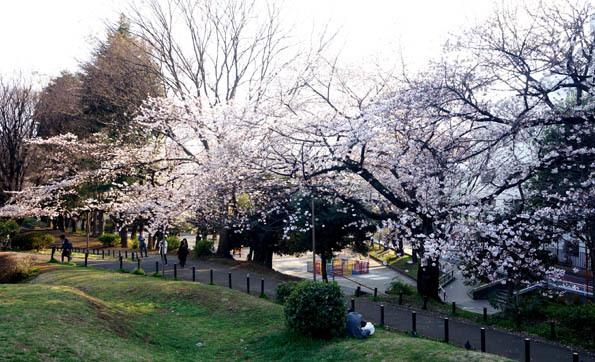 20170403 外山公園の桜 21㎝DSC08043