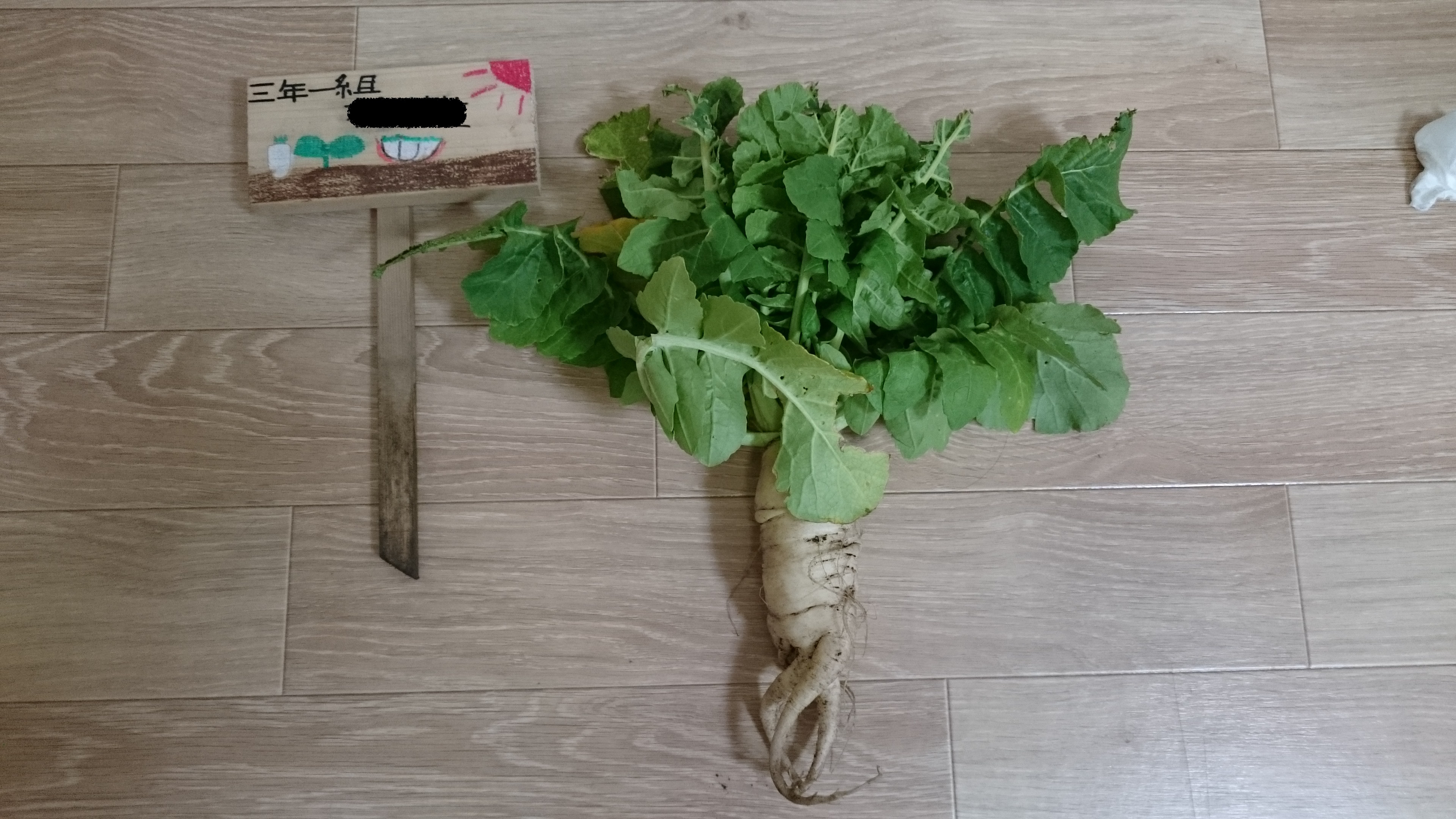 芽生の大根