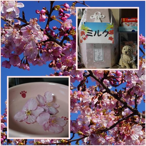2017-2ミルクと桜