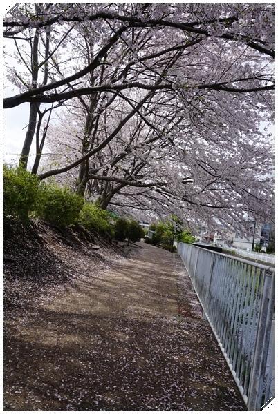 201704桜並木2