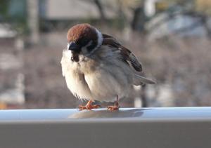 土佐堀川の雀blog02