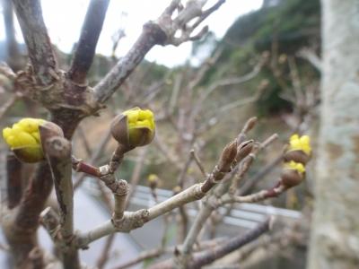 サンシュの花 2017 3・5