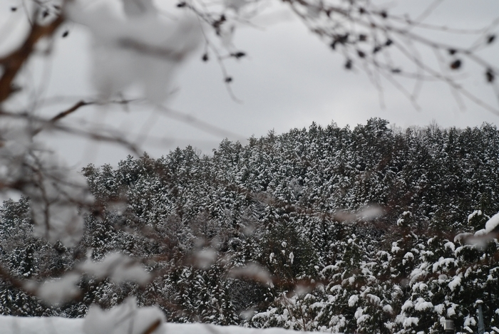 ヒノキ林の雪17