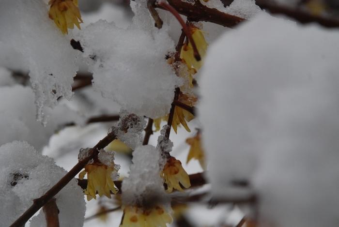 ロウバイに雪16