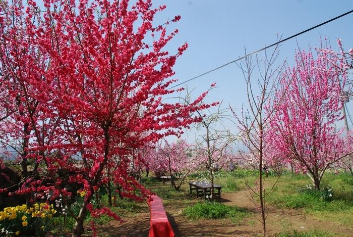 釈迦堂遺跡博物館の花桃44