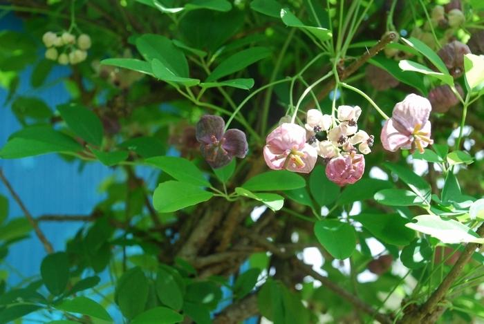 アケビの花1
