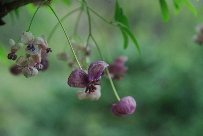 アケビの花6