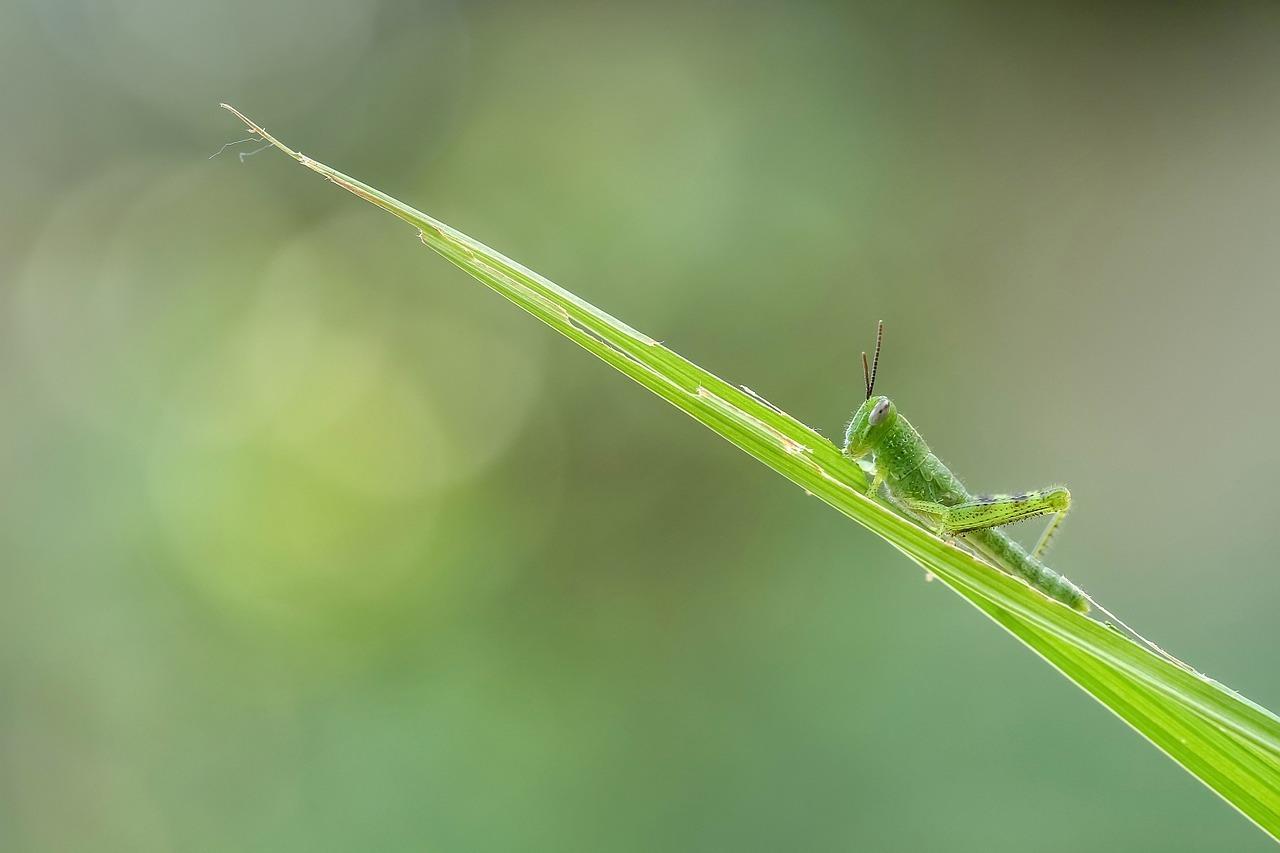 grasshopper-1129236_1280.jpg